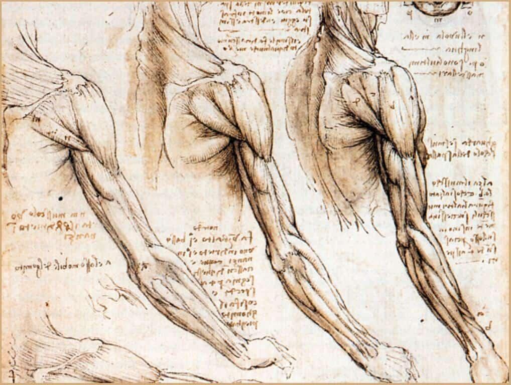 da-vinci-muscles3 (Medium)